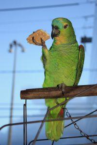 Papagei futtert einen Keks