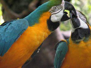 Papageien vergesellschaften (zwei küssende Aras)