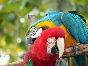Papageien vergesellschaften